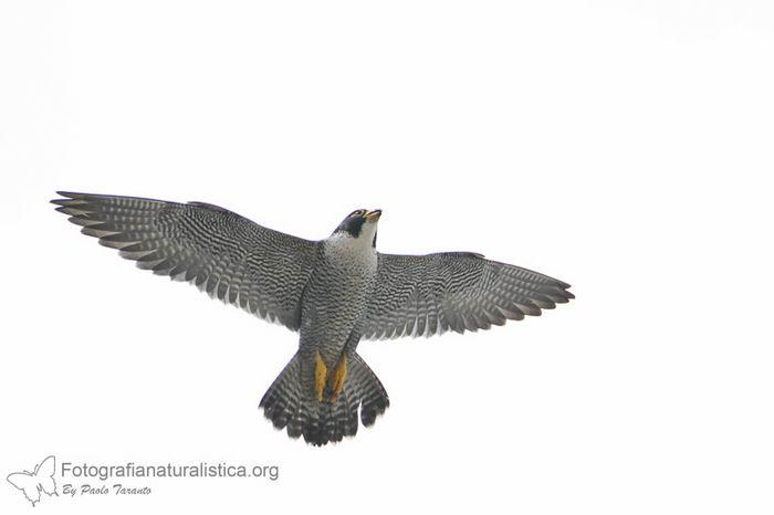 Сапсан (Falco peregrinus) – самая быстрая птица на планете Falco_peregrinus_03