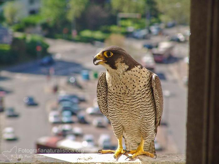 Сапсан (Falco peregrinus) – самая быстрая птица на планете Falco_peregrinus_04