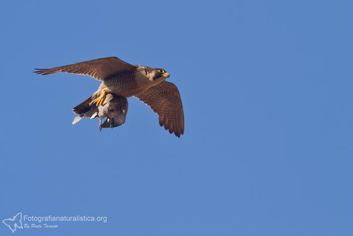 Сапсан (Falco peregrinus) – самая быстрая птица на планете Falco_peregrinus_07