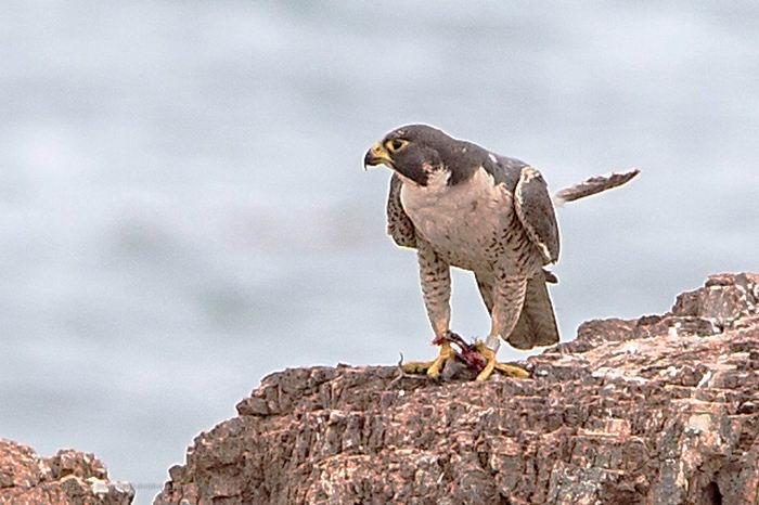 Сапсан (Falco peregrinus) – самая быстрая птица на планете Falco_peregrinus_08
