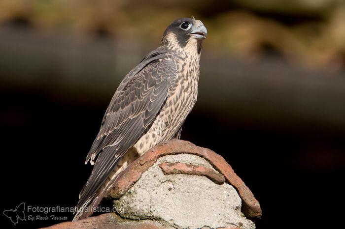 Сапсан (Falco peregrinus) – самая быстрая птица на планете Falco_peregrinus_09
