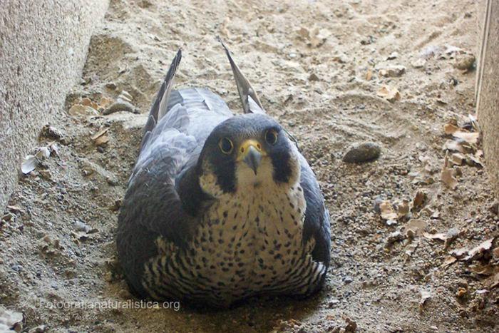 Сапсан (Falco peregrinus) – самая быстрая птица на планете Falco_peregrinus_10