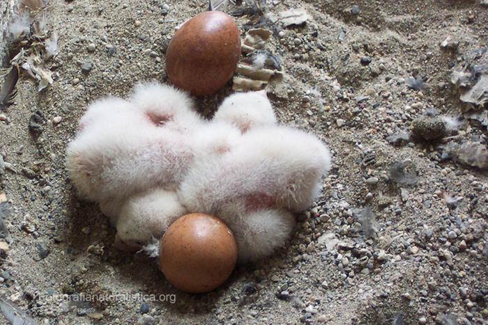 Сапсан (Falco peregrinus) – самая быстрая птица на планете Falco_peregrinus_11