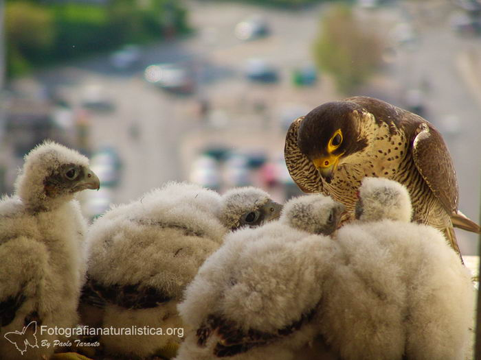 Сапсан (Falco peregrinus) – самая быстрая птица на планете Falco_peregrinus_12