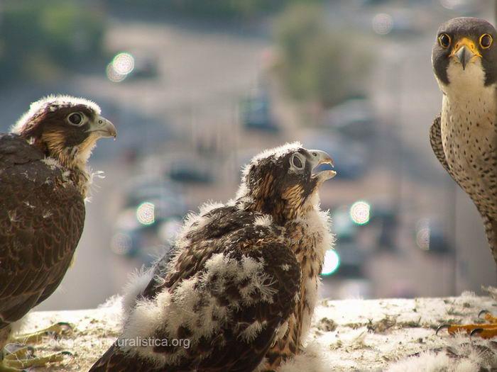 Сапсан (Falco peregrinus) – самая быстрая птица на планете Falco_peregrinus_13