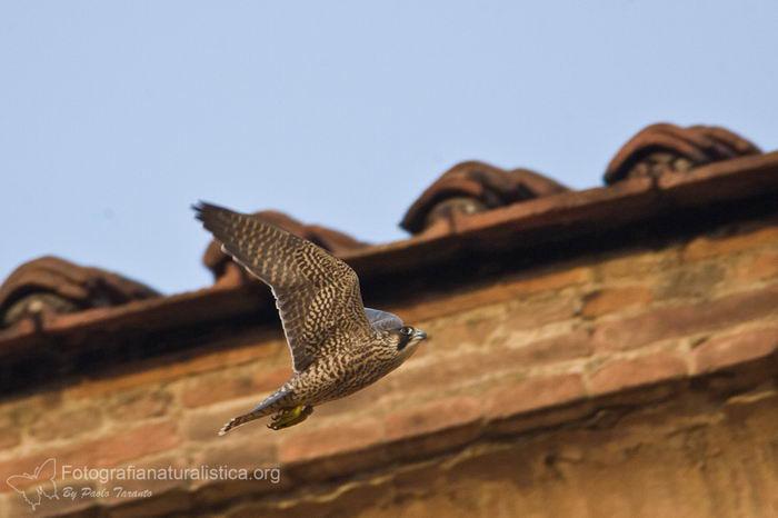 Сапсан (Falco peregrinus) – самая быстрая птица на планете Falco_peregrinus_14