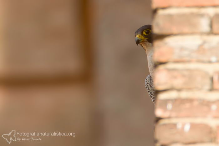 Сапсан (Falco peregrinus) – самая быстрая птица на планете Falco_peregrinus_15