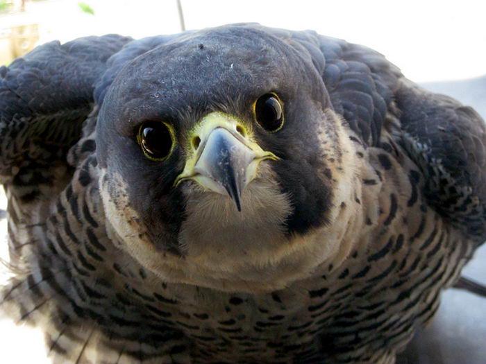 сокол птица сапсан фото