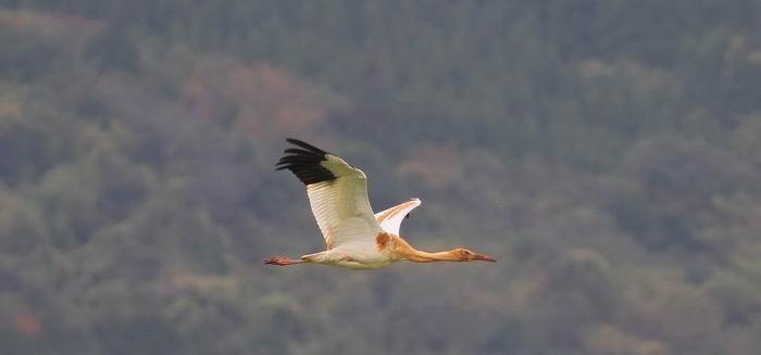 Стерх, белый журавль (Grus leucogeranus)