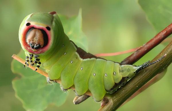 Гусеницы бабочки на природе картинки