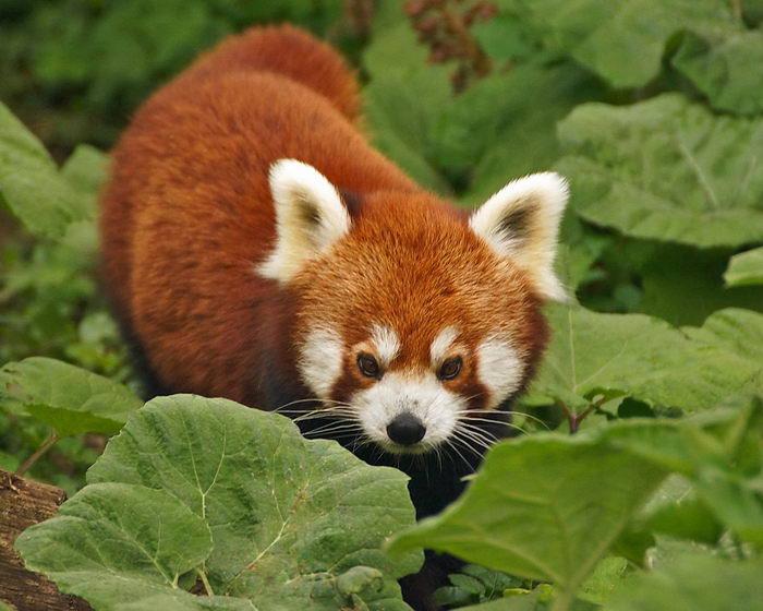 Мала червона панда (Ailurus fulgens)