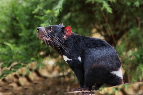 Тасманійський диявол, або сумчастий диявол (Sarcophilus harrisii)