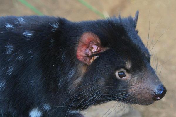 Тасманский дьявол, или сумчатый дьявол (Sarcophilus harrisii) Tasmanian_evil_03