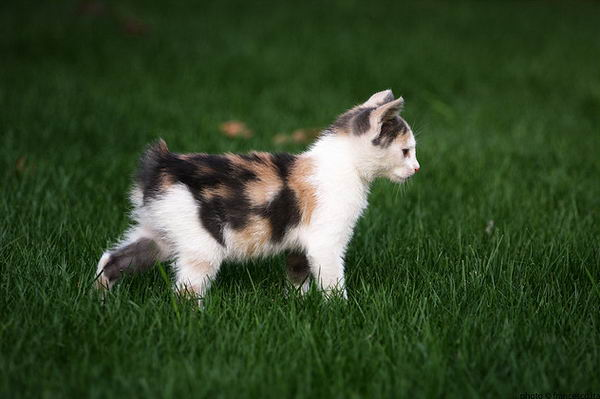 Бесхвостые кошки с ирландского острова Мэн Manx_01