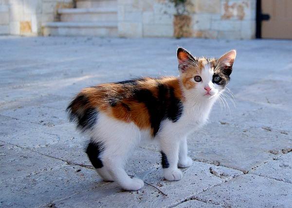 Бесхвостые кошки с ирландского острова Мэн Manx_02