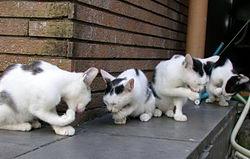 Чому коти облизують себе, господаря і кусають одяг?