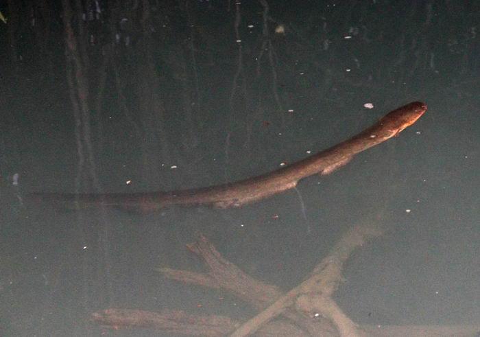 Электрический угорь (Electrophorus electricus или Gymnotus electricus)