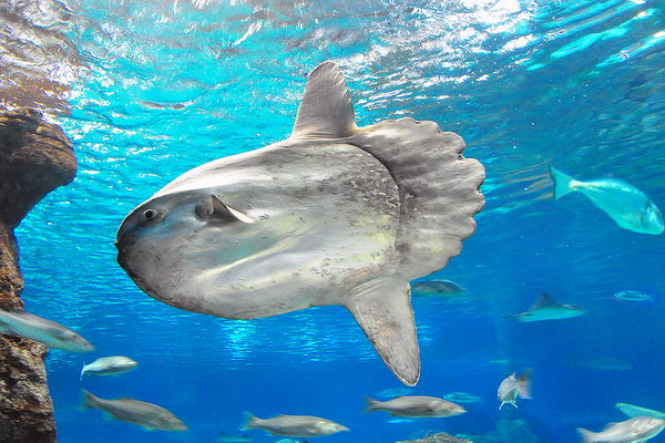 Рыба луна  Moonfish_02