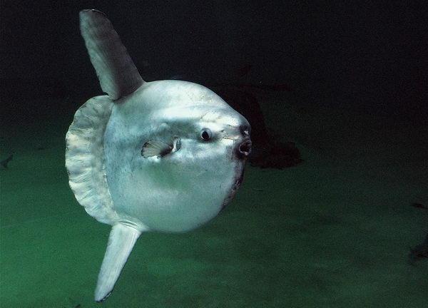 Рыба луна  Moonfish_03