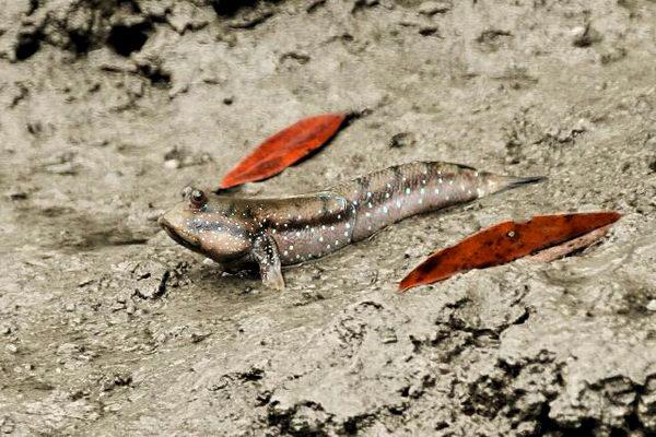Илистый прыгун – удивительная сухопутная рыбка Periophthalmus_cantonensis
