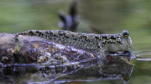 Илистый прыгун – удивительная сухопутная рыбка Periophthalmus_gracilis