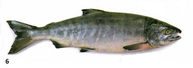 рыба кета фото