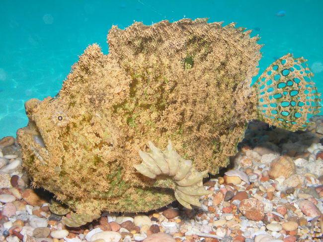 http://natureworld.ru/misc/fish/sea_devils/lophiocharon_trisignatus_01.jpg