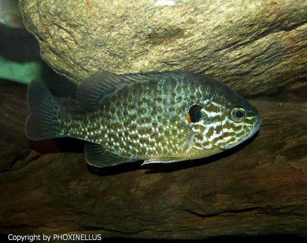 Солнечные рыбы или ушастые окуни (Centrarchidae) Lepomis_gibbosus_01