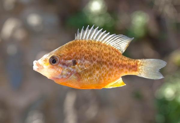 Солнечные рыбы или ушастые окуни (Centrarchidae) Lepomis_gibbosus_02