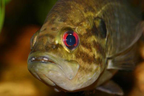 Солнечные рыбы или ушастые окуни (Centrarchidae) Lepomis_gulosus_01