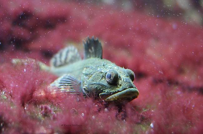 Морской петух (Trigla) Trigla_lucerna_03