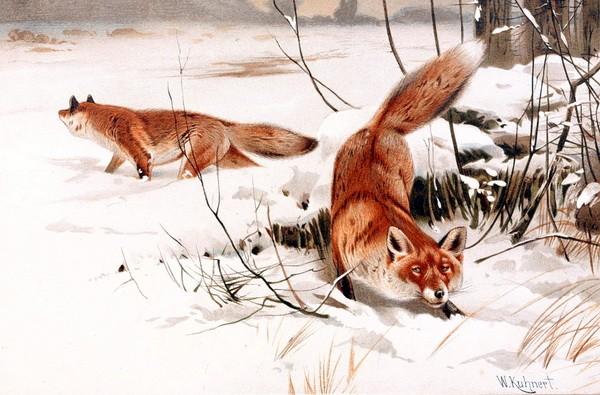 Шерсть у лисиц к зиме становится более