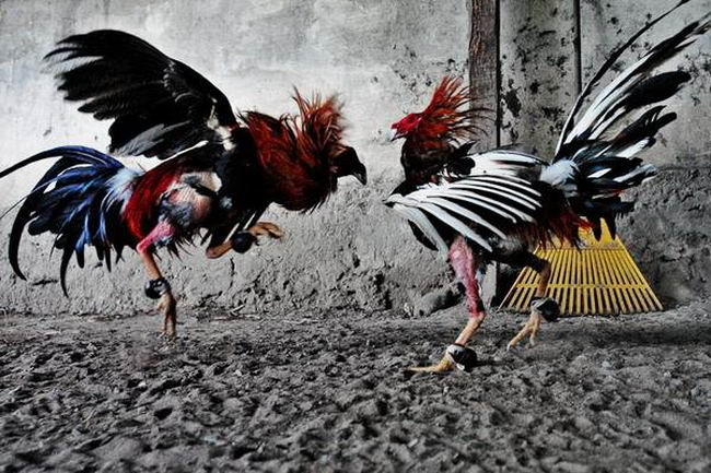Петушиные бои Cock_fighting_02