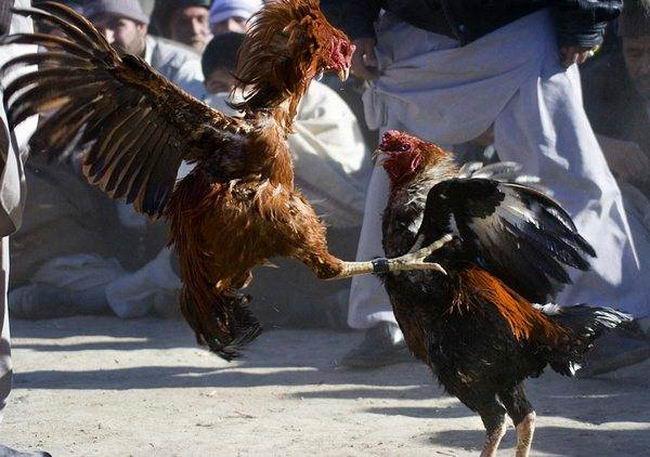 Петушиные бои Cock_fighting_04