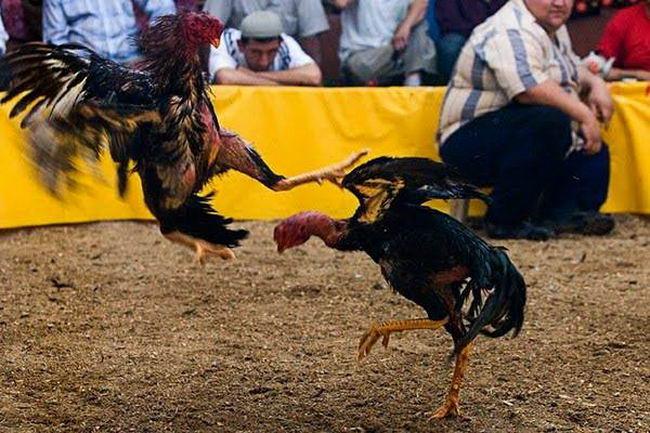 Петушиные бои Cock_fighting_05
