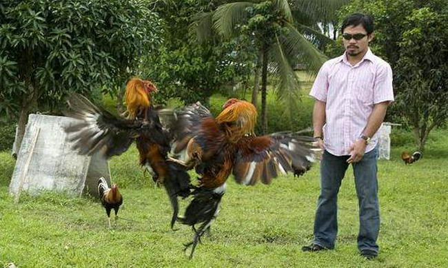 Петушиные бои Cock_fighting_11