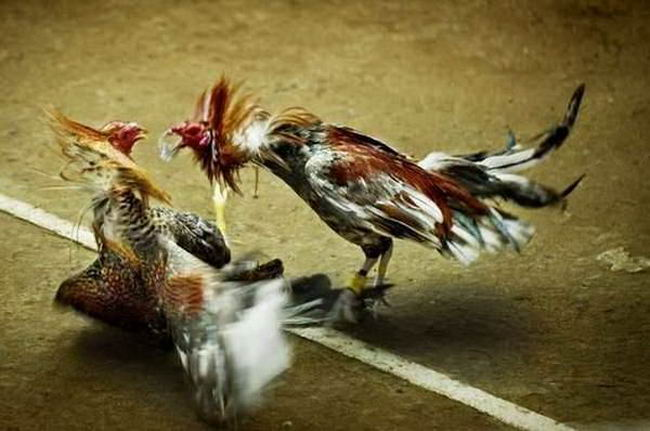 Петушиные бои Cock_fighting_13
