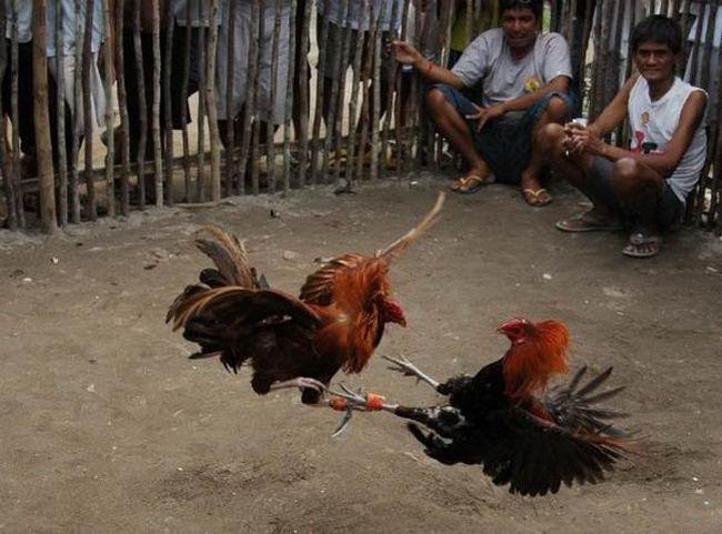 Петушиные бои Cock_fighting_15