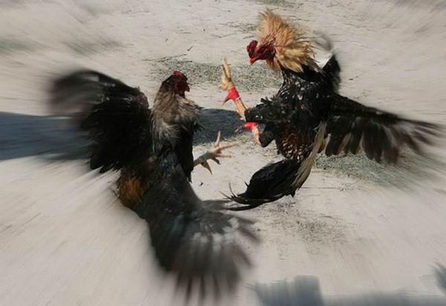 Петушиные бои Cock_fighting_16