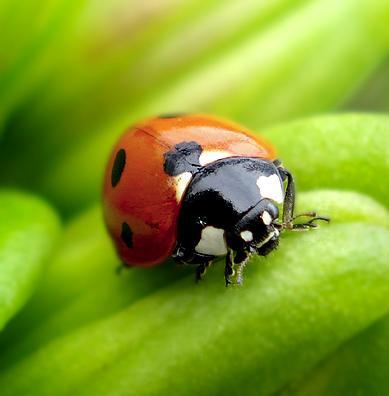 Божья коровка - насекомое - хищник Ladybird_01