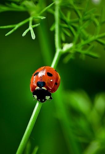 Божья коровка - насекомое - хищник Ladybird_02