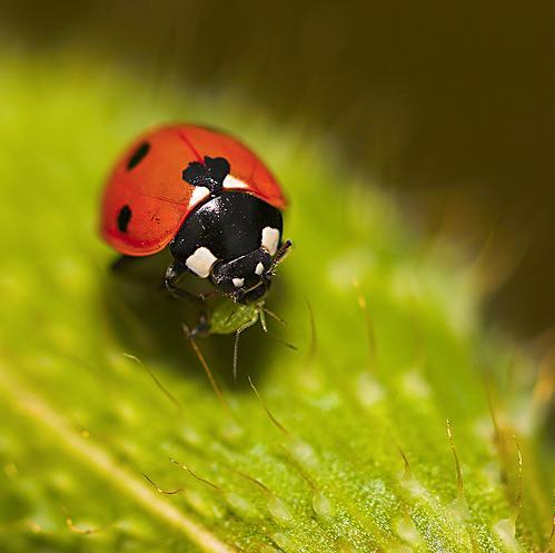 Божья коровка - насекомое - хищник Ladybird_03
