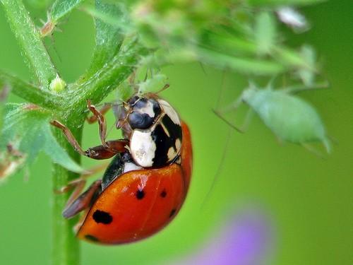 Божья коровка - насекомое - хищник Ladybird_04