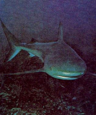 Блуждающая в недрах океана акула