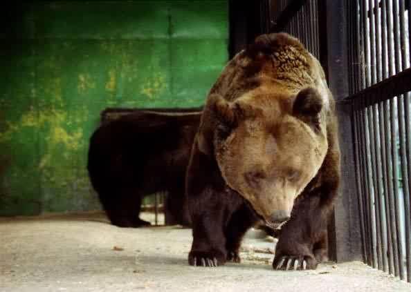 Бурі, гімалайські ведмеді, барибалы
