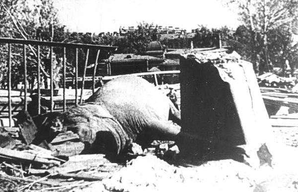 Так погибла слониха Бетти