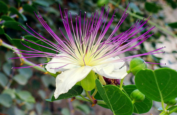 Capparis spinosa - каперс колючий или каперсник