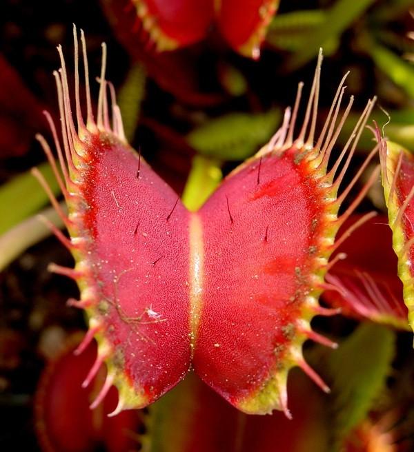 цветы хищники фото: