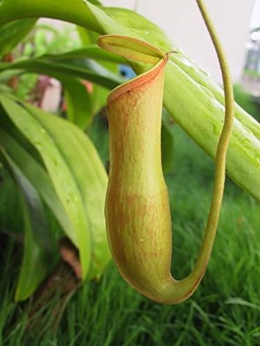 Непентес кхаси nepenthes khasiana фото syx
