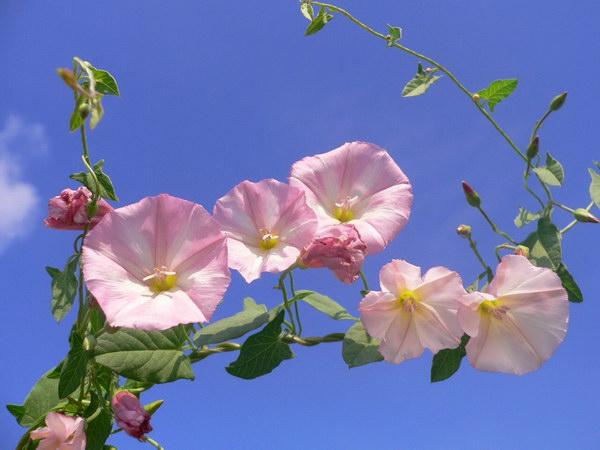 цветы вьюн фото